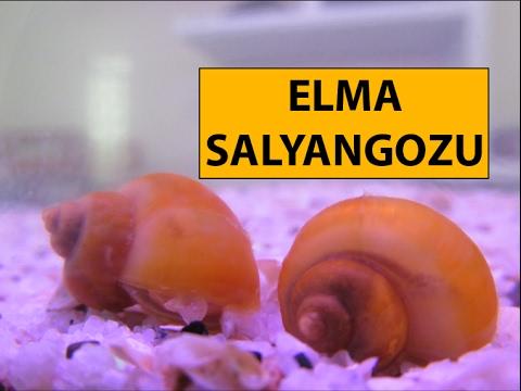 Elma Salyangozu