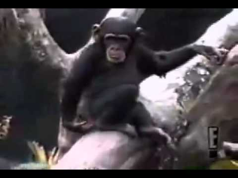 Ape Smells Finger Falls Out Of Tree Youtube