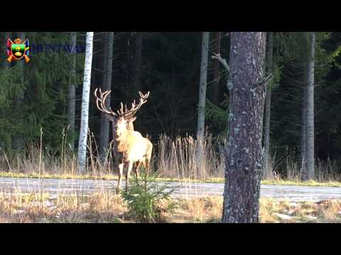 Sttliga Kronhjortar vid passet / Magnificent Red Deers