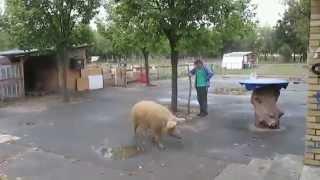 abendlicher Schweinetrieb in Hellersdorf