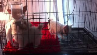 Карликовые собачки в Таиланде