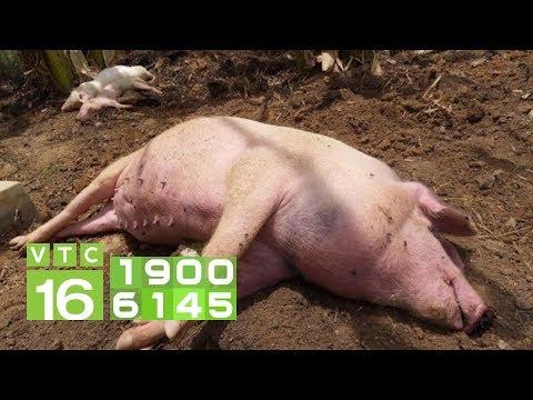 Dấu hiệu nhận biết sớm bệnh dịch tả lợn Châu Phi   VTC16