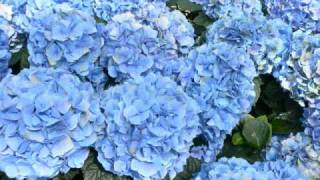 Ajisai (hydrangea) from the disbanded Japanese visual kei band Fati...