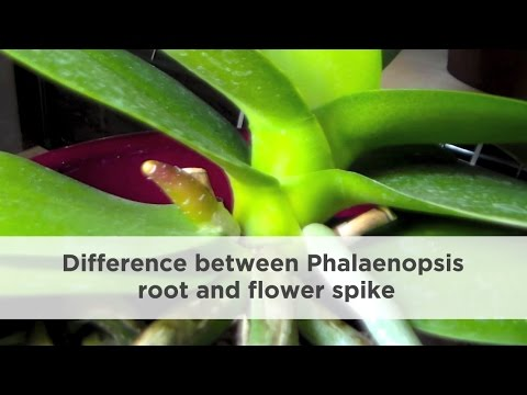 How To Difference Between Orchid Root And Flower Spike Youtube