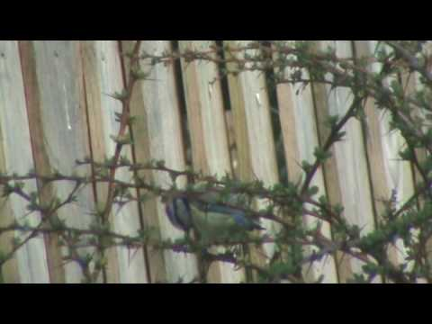 A Beautiful Blue Tit is at a thorn tree in my garden..
