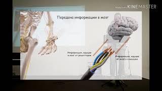 Нервная система человека. Влияние массажа на нервную систему. Богдан Сокур.