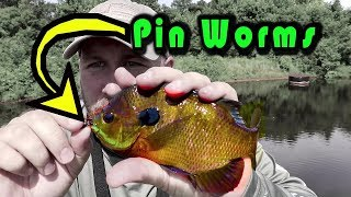 Micro Japanese Pin Worms for Bait