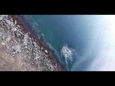 killer whale Hunts harbour porpoise a few feet from land