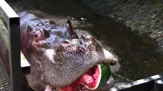 カバのスイカまるごとタイム Hippos eating whole watermelon in one bite thumbnail