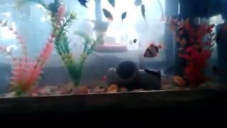 Видео аквариума от подписчика  #15 Аквариум подписчика(Напоминаю, что каждый желающий может прислать видео своего аквариума и я его опубликую на канале! Аквариумы..., 2017-02-18T08:32:09.000Z)