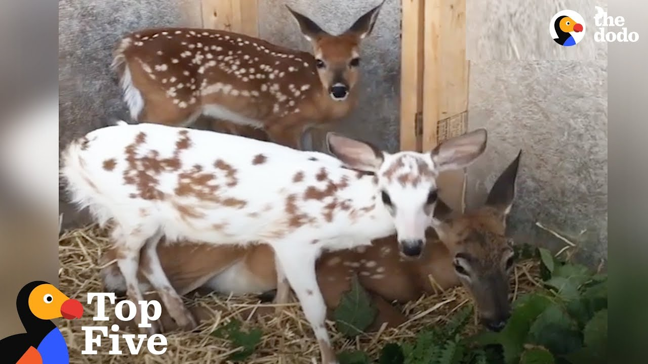 Special Baby Deer Loves To Play Mom To Her Friends & Other Deer Stories | The Dodo Top 5