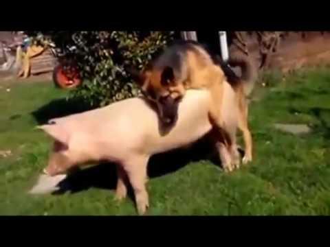 동물 교미 번식 돼지는 오래 견딘다. - YouTube