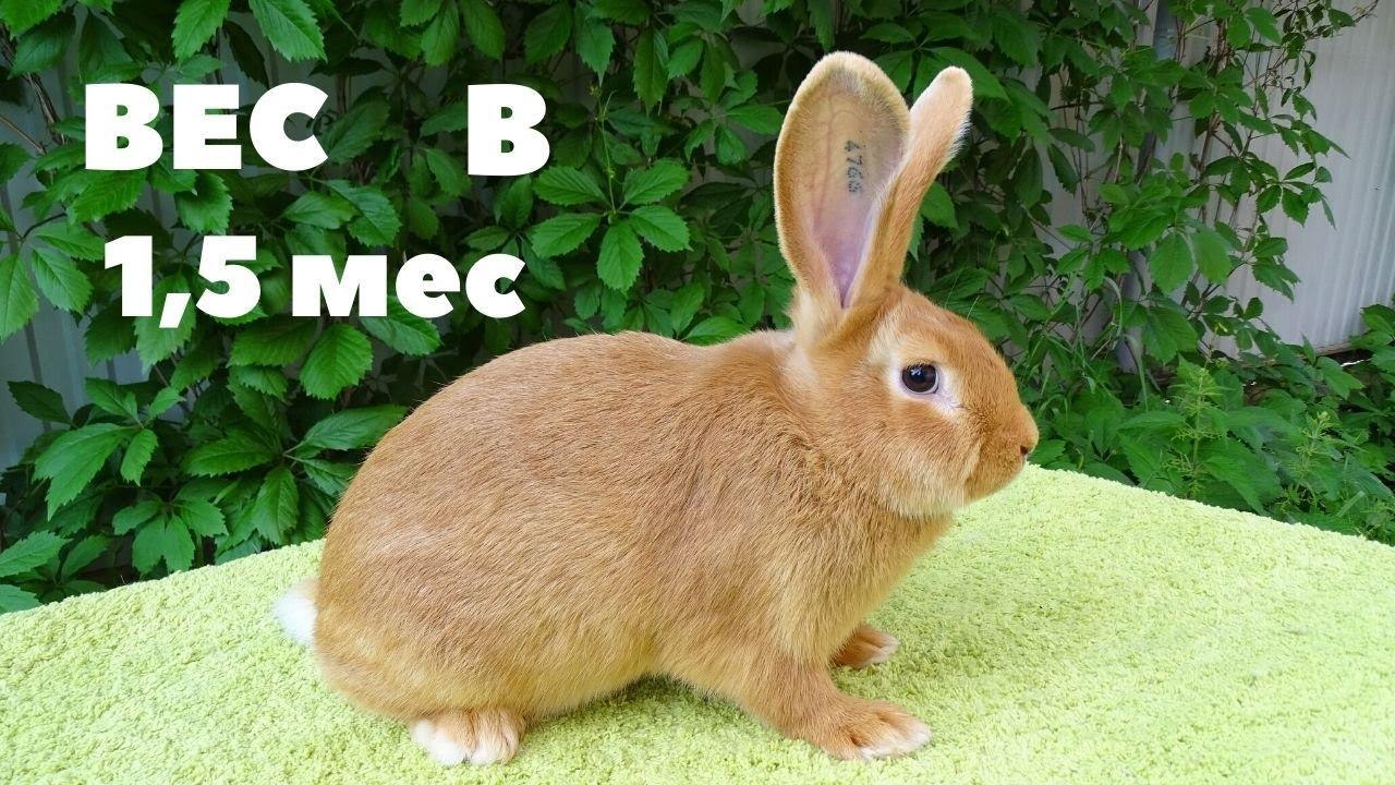 Рост и развитие Бургундских крольчат
