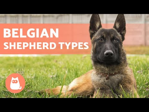 TYPES OF BELGIAN SHEPHERD - Names and Information