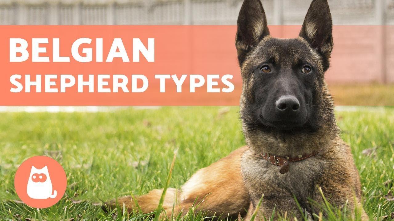 Types Of Belgian Shepherd Names And