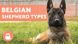 TYPES OF BELGIAN SHEPHERD  Names and Information