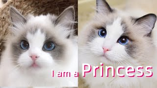 Why the Ragdoll cat is the most beautiful breedShe is a lovely fairy! Funny pet compilation