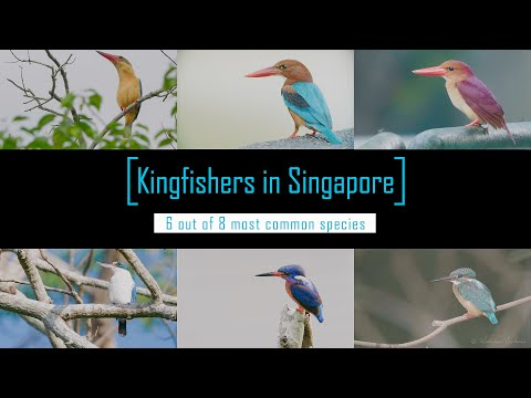 Kingfishers In Singapore. 4k GH5s