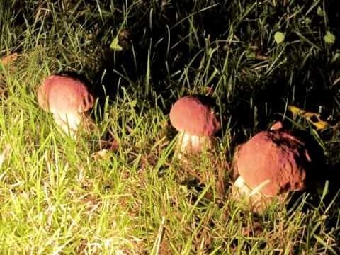 How grows boletus? Timelapse photography.
