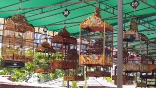 Lomba Burung Cucak Hijau  A | Launching BNR Sambas