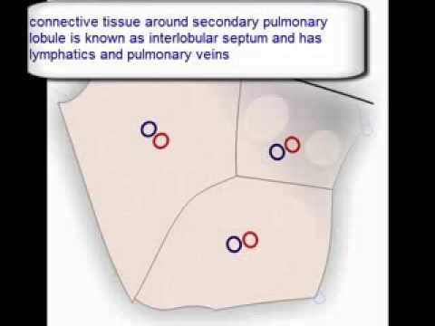 Lung Anatomy Primary Pulmonary Lobule Secondary