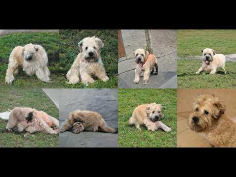 Generating Soft-Coated Wheaten Terrier with Deep Learning
