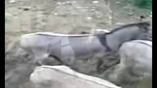 Repeat youtube video Burro in love with Miss Jackass - Donkey Mating with Female
