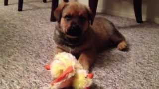 Rottweiler Puppy Pictures- This Rottweiler Mix Puppy Is Picture Perfect