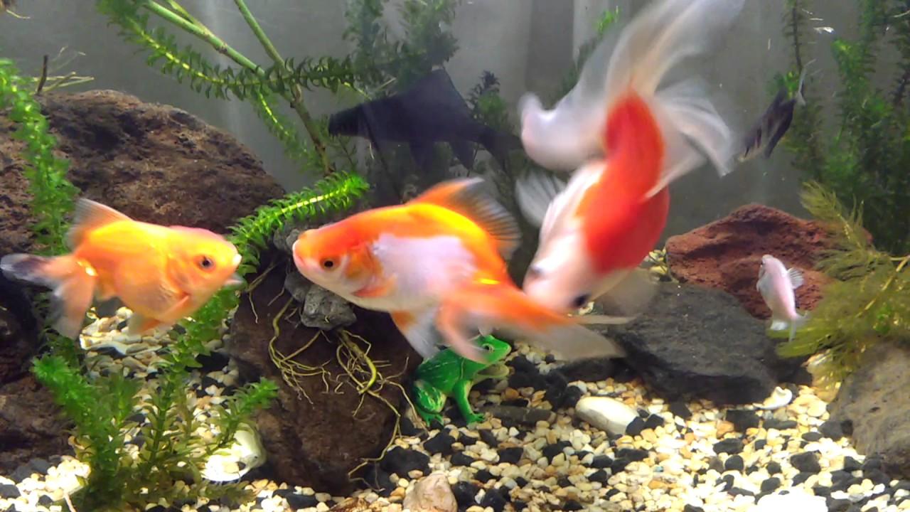 Pecera De Goldfish Hermosos Youtube