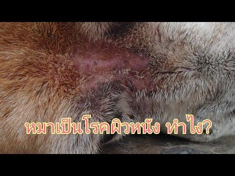 หมาเป็นโรคผิวหนัง รักษาอย่างไร มาดูกัน : ลุงม้า