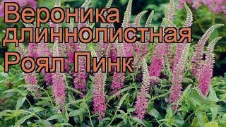 видео Купить Вероника длиннолистная Роял Пинк Veronica longifolia Royal Pink