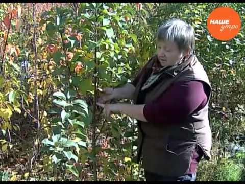 Вопрос: Колоновидная яблоня Арбат . Какие особенности сорта Какие отзывы?