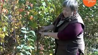 Колоновидные яблони  любить или не любить(, 2015-10-26T16:30:26.000Z)