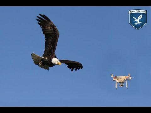 Dutch police eye eagles to prey on drones
