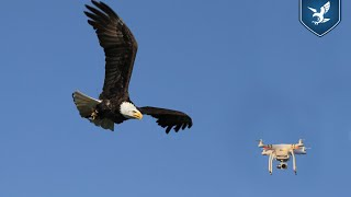 Birds of prey trained to intercept hostile drones