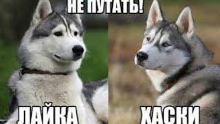 DOGVLOG: Чем отличается хаски от лайки *Говорящия собака Ноя*