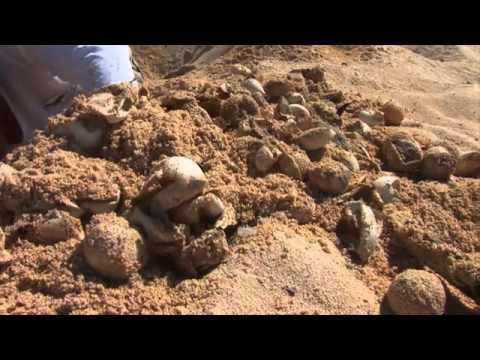 New Born Baby Sea Turtles Run To The Ocean In Cozumel Mexico