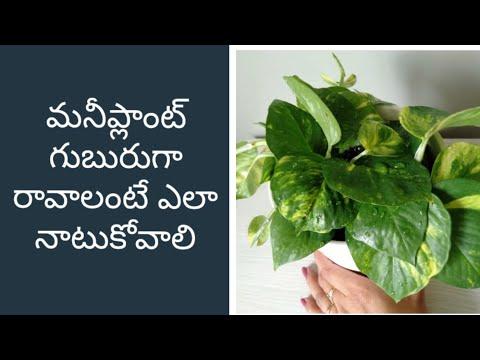 moneyplant-propagation-technique/how-to-grow-moneyplant-bushy-#moneyplant#moneyplanttelugu#pothos
