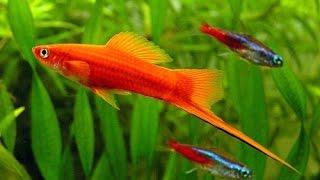 хива риба хмельницький  купити живу рибу акваріумна риба акваріумну рибу ціни недорого(, 2015-03-20T20:33:59.000Z)