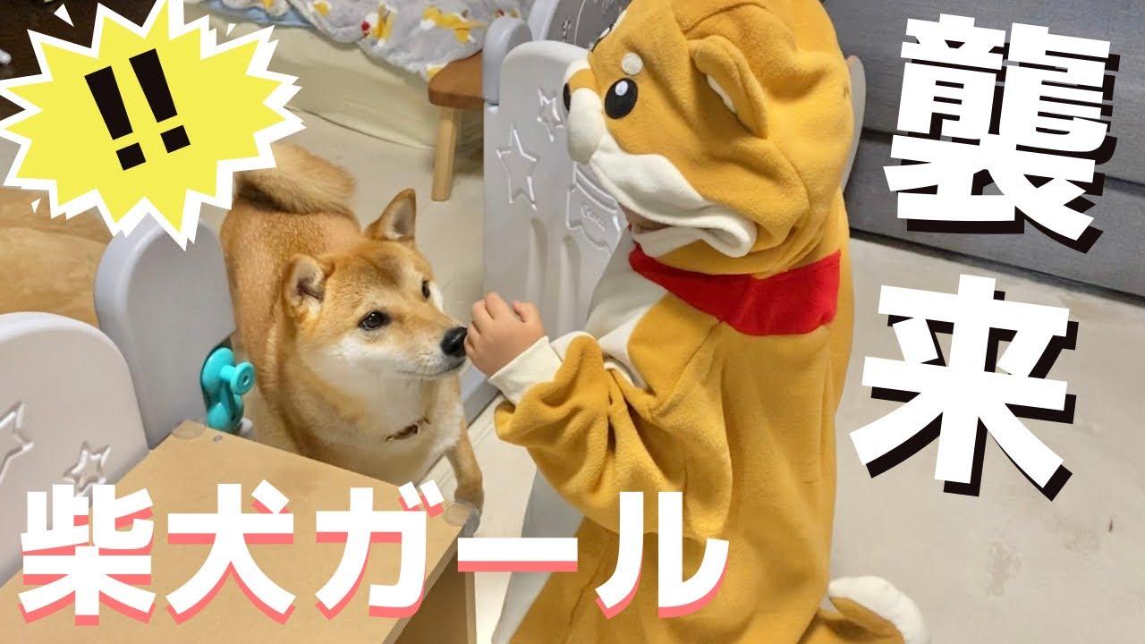 柴犬の着ぐるみを着た娘を不思議そうにガン見する柴犬