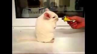 Шиншилла смешно кушает