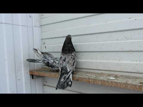 Племенные безкружные голуби