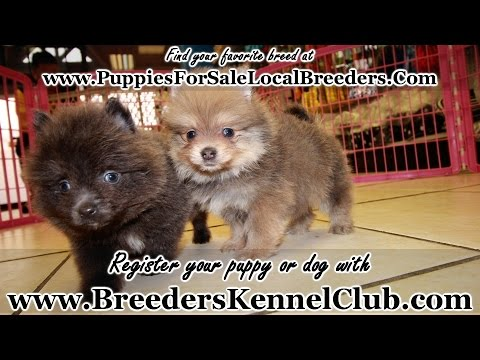 lavender pomeranian puppies for sale blue pomeranian puppies for sale georgia local breeders 487