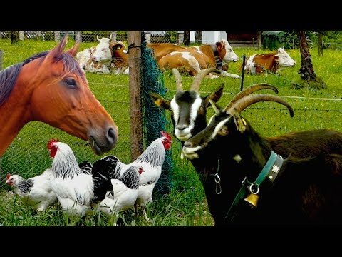 Top25 Most beautiful Farm Animals - rare breeds of lifestock, cattle, goats chickens horse poultry