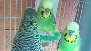 Male Budgie/Parakeet Courting Male And Female Budgie(Волнистых попугаев)