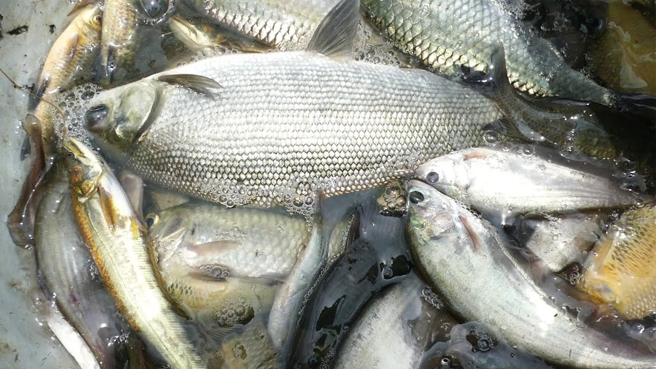 Awesome Fresh Country Fish Catching by Net। Best Net Fishing in River
