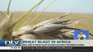 Africa reports its first case of Wheat Blast