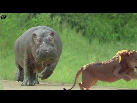 Видео: Бегемот в деле (гиппопотам). Против носорога, крокодила, слона.