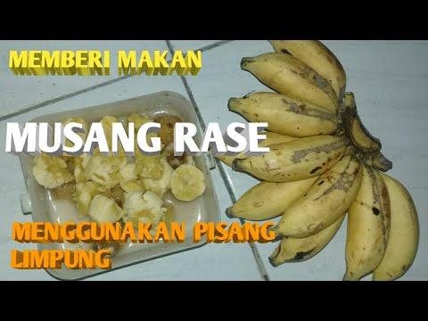 Memberi Makan Musang Rase Part2 Youtube