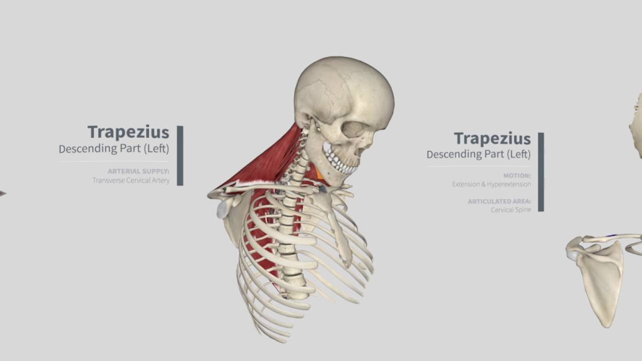 Trapezius Panorama Muscles In Complete Anatomy 360 Youtube